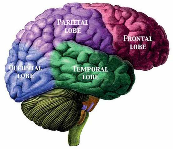 Lobes of the brain. Image from Wikimedia Commons.